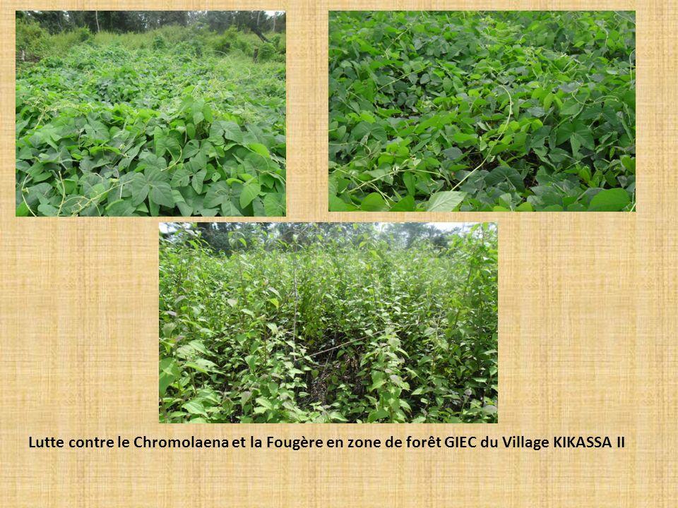 Lutte contre le Chromolaena et la Fougère en zone de forêt GIEC du Village KIKASSA II