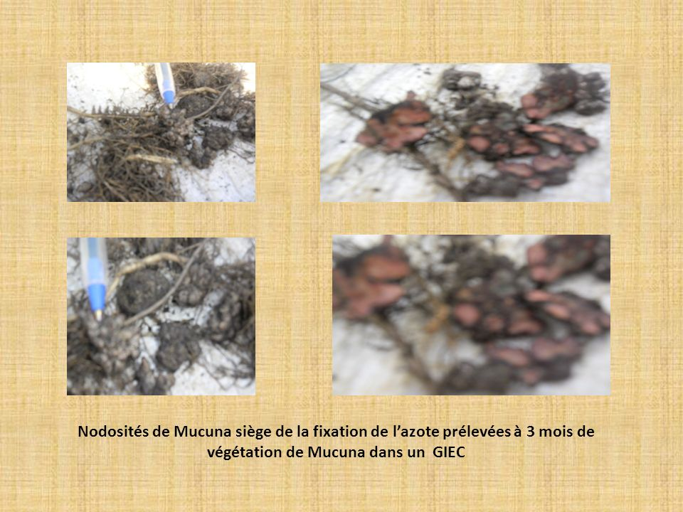 Nodosités de Mucuna siège de la fixation de l'azote prélevées à 3 mois de végétation de Mucuna dans un GIEC