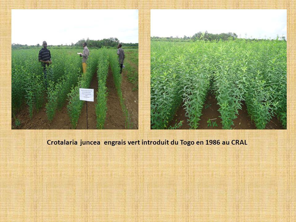Crotalaria juncea engrais vert introduit du Togo en 1986 au CRAL