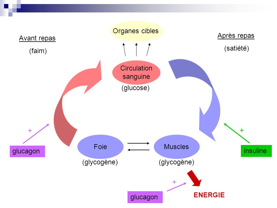 + + Organes cibles Circulation sanguine Muscles (glycogène) (glucose)