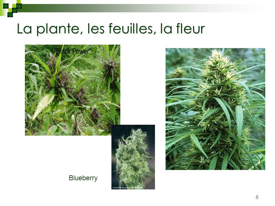 La plante, les feuilles, la fleur