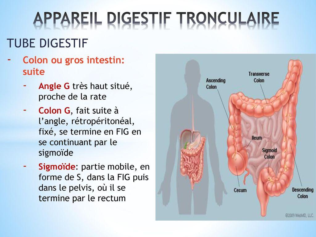 Appareil Digestif Anatomie Et Physiologie Ppt T 233 L 233 Charger
