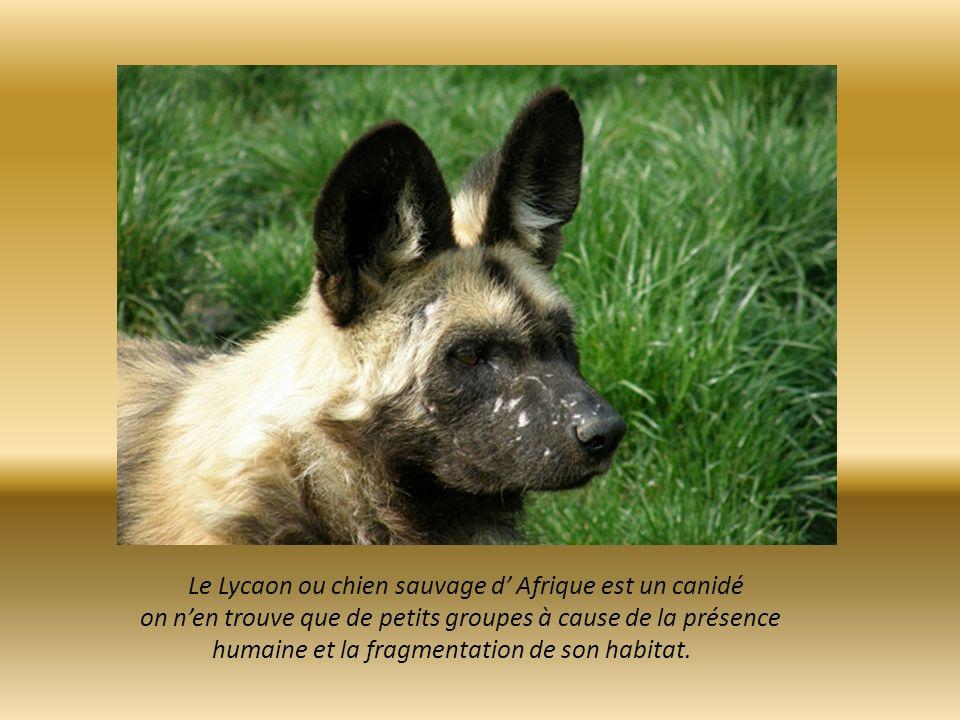 Le Lycaon ou chien sauvage d' Afrique est un canidé