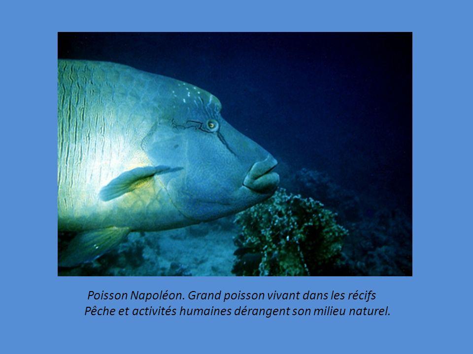 Poisson Napoléon. Grand poisson vivant dans les récifs