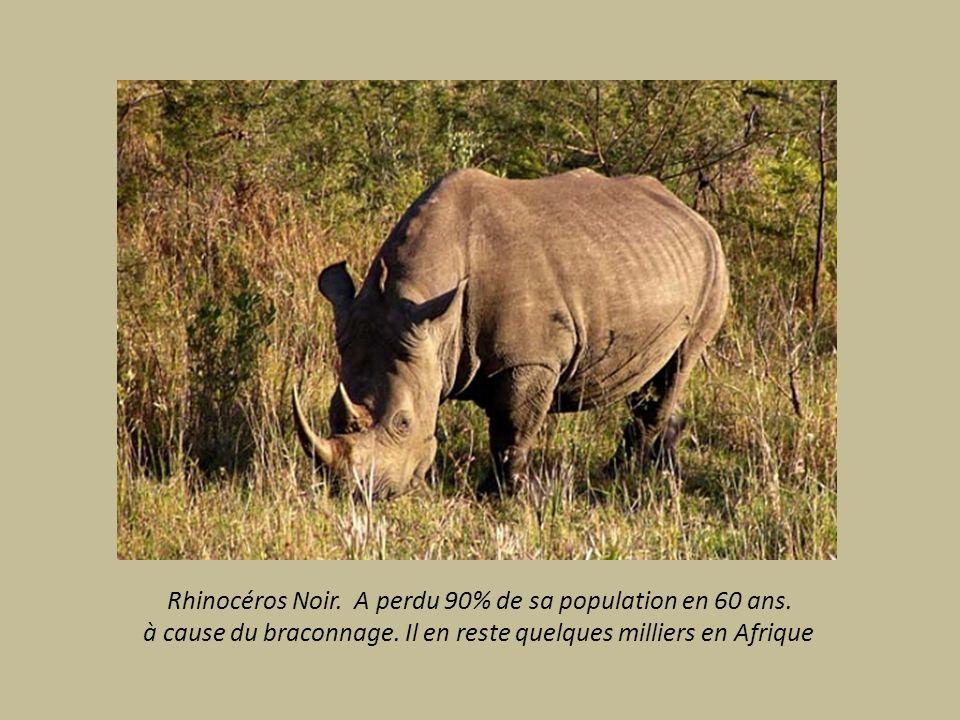 Rhinocéros Noir. A perdu 90% de sa population en 60 ans.