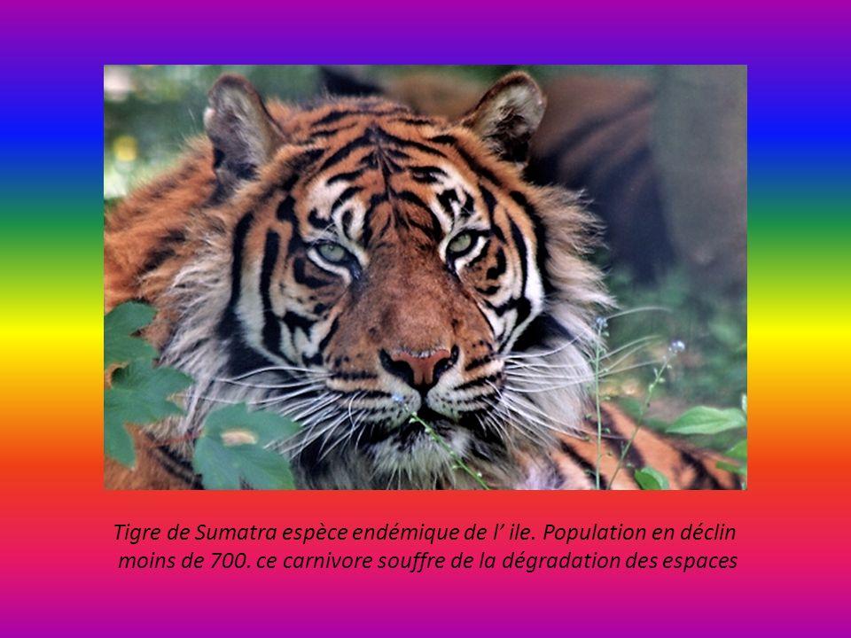 Tigre de Sumatra espèce endémique de l' ile. Population en déclin