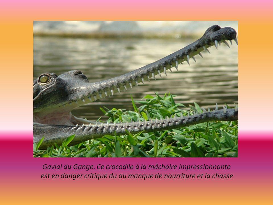 Gavial du Gange. Ce crocodile à la mâchoire impressionnante