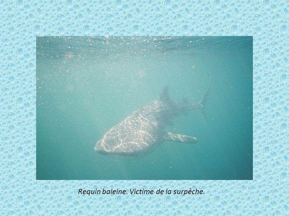 Requin baleine. Victime de la surpêche.