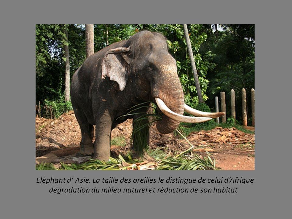 Eléphant d' Asie. La taille des oreilles le distingue de celui d'Afrique