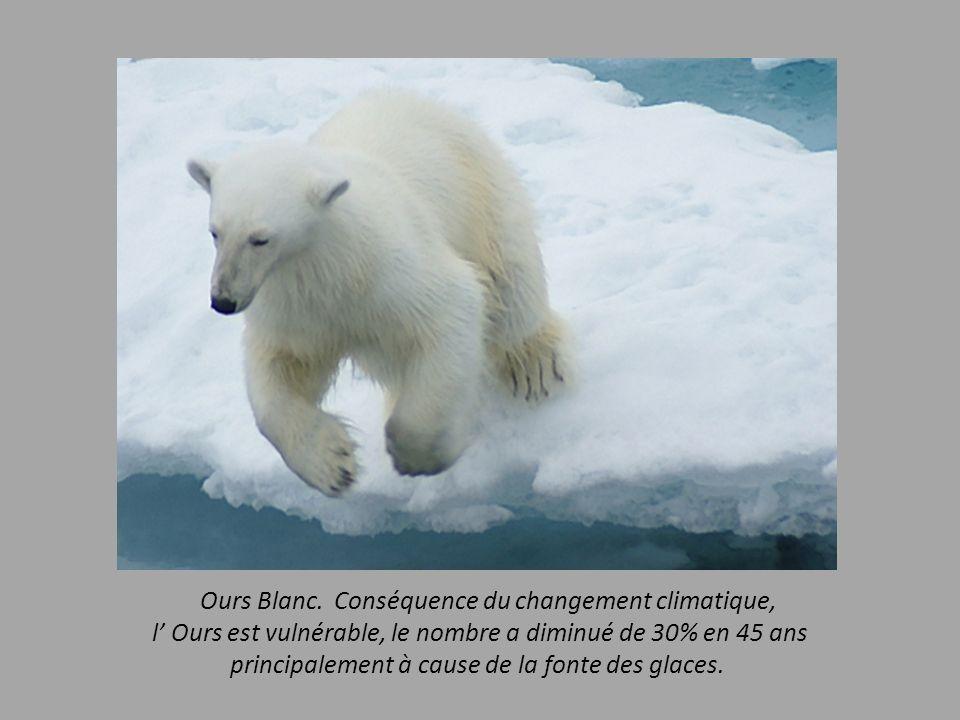 Ours Blanc. Conséquence du changement climatique,