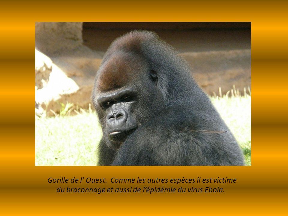 Gorille de l' Ouest. Comme les autres espèces il est victime