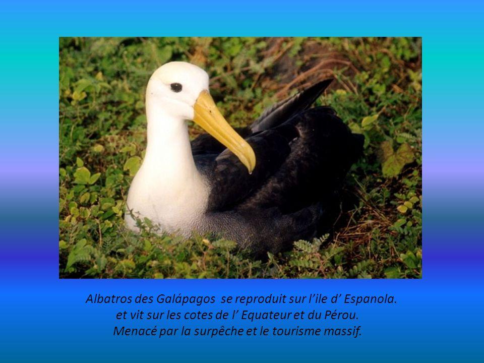 Albatros des Galápagos se reproduit sur l'ile d' Espanola.