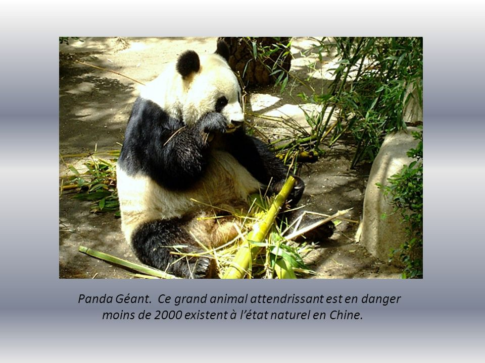 Panda Géant. Ce grand animal attendrissant est en danger