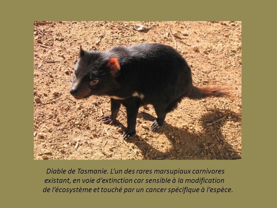 Diable de Tasmanie. L'un des rares marsupiaux carnivores