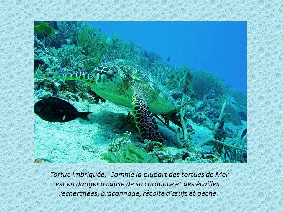 Tortue imbriquée. Comme la plupart des tortues de Mer