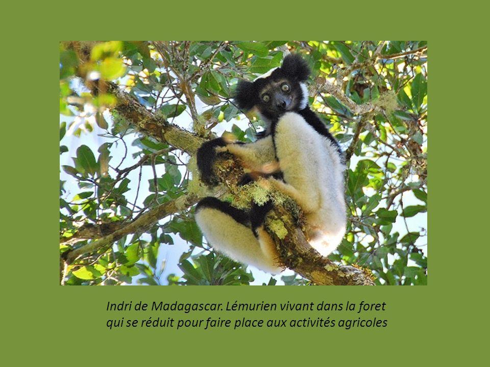 Indri de Madagascar. Lémurien vivant dans la foret