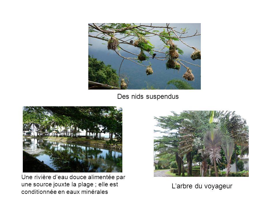 Des nids suspendus L'arbre du voyageur