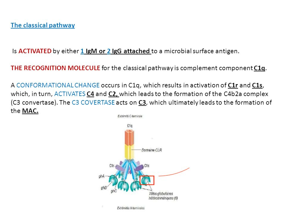 The classical pathway Is ACTIVATED by either 1 IgM or 2 IgG attached to a microbial surface antigen.