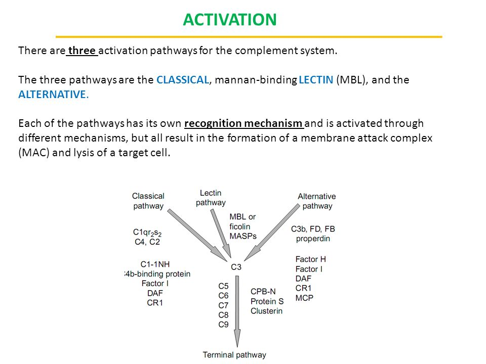 ACTIVATION There are three activation pathways for the complement system.