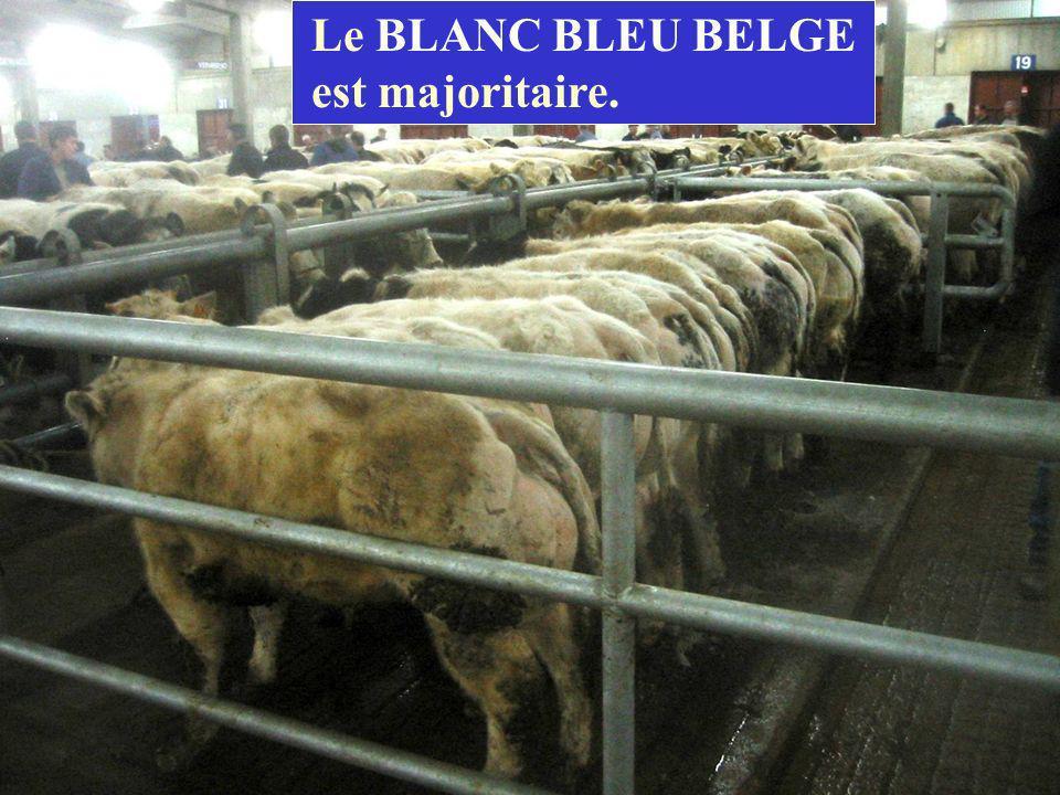 Le BLANC BLEU BELGE est majoritaire.