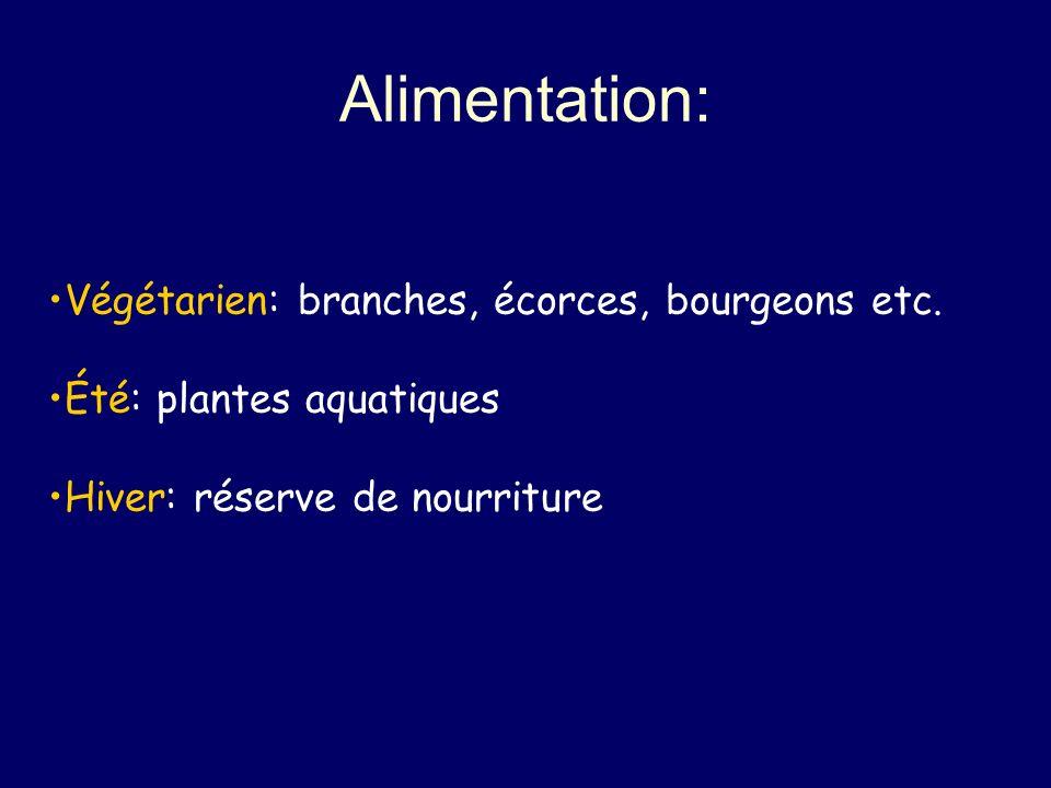 Alimentation: Végétarien: branches, écorces, bourgeons etc.