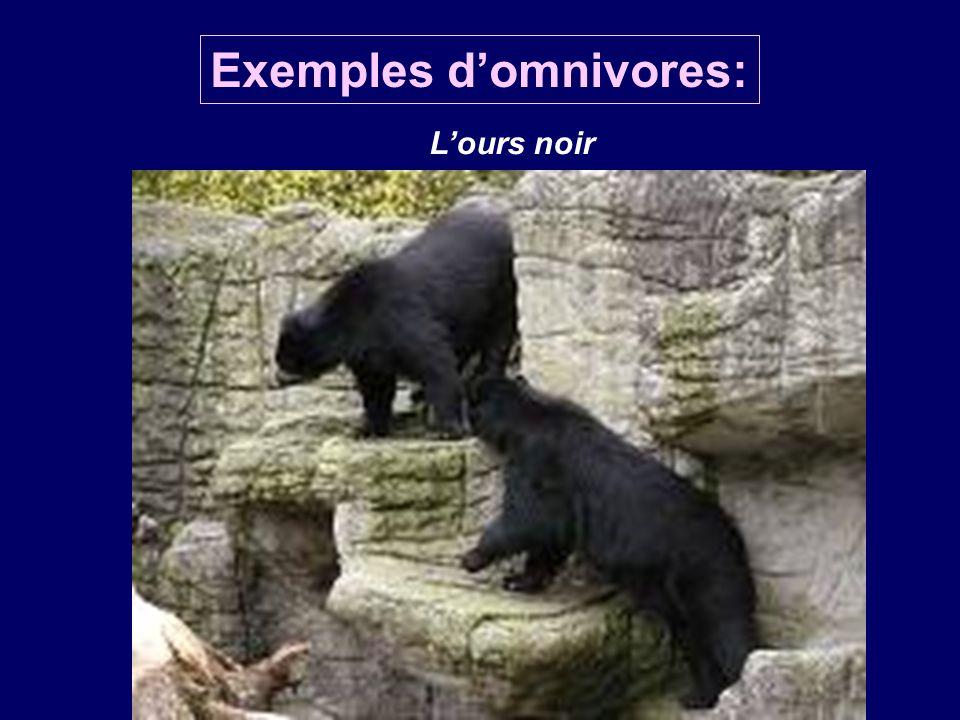 Exemples d'omnivores: