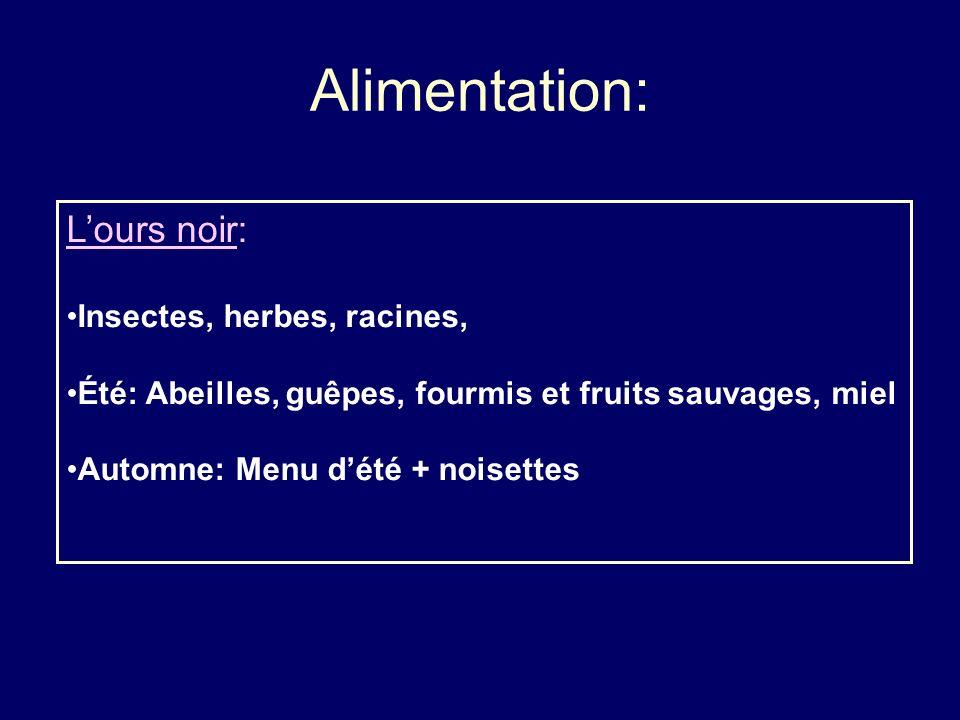 Alimentation: L'ours noir: Insectes, herbes, racines,