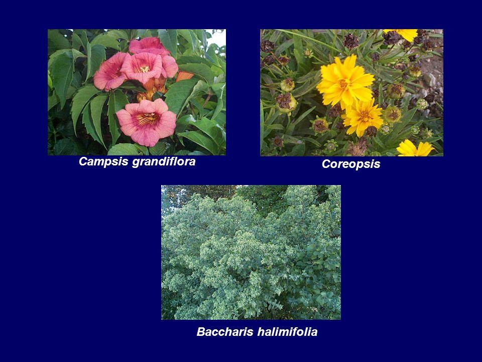 Campsis grandiflora Coreopsis Baccharis halimifolia