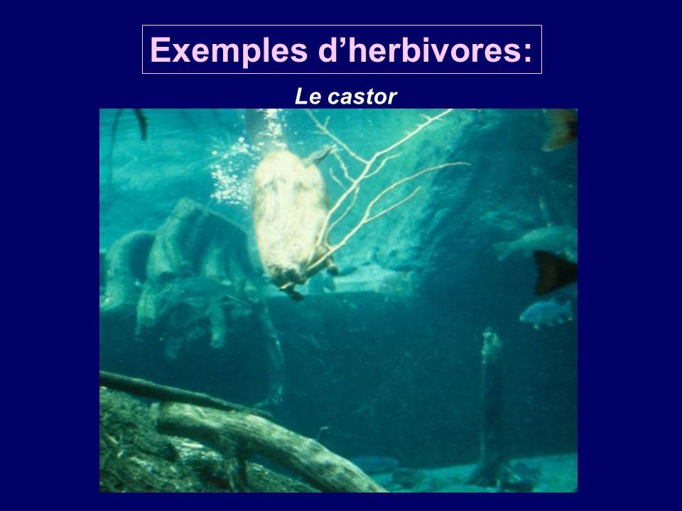 Exemples d'herbivores: