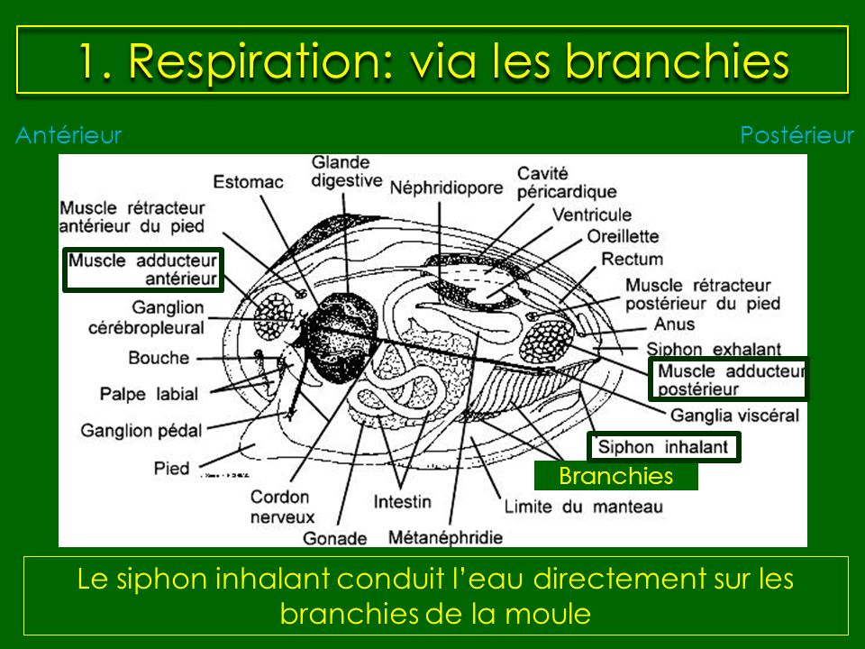 1. Respiration: via les branchies