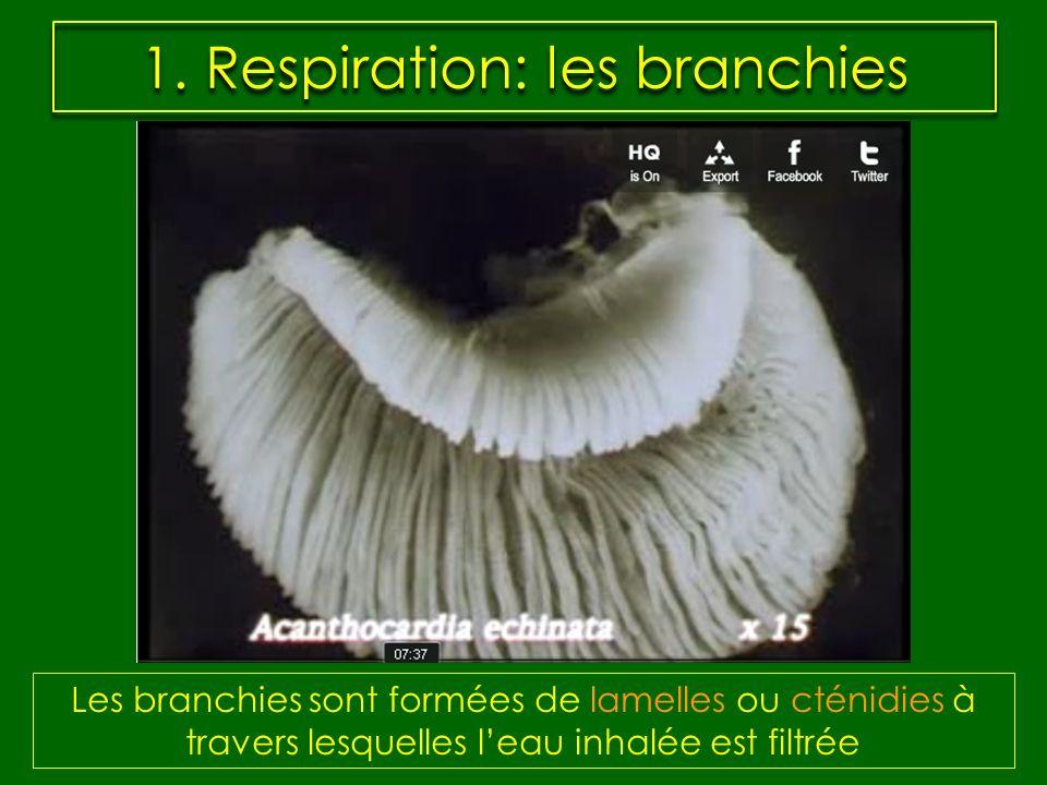 1. Respiration: les branchies