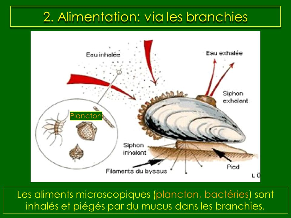 2. Alimentation: via les branchies