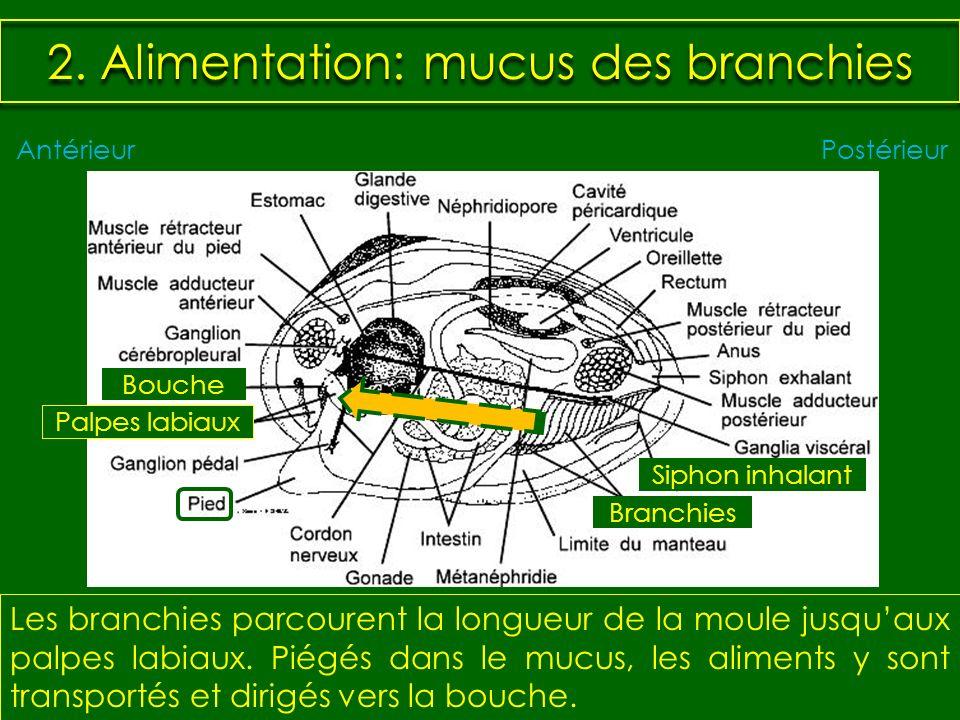 2. Alimentation: mucus des branchies