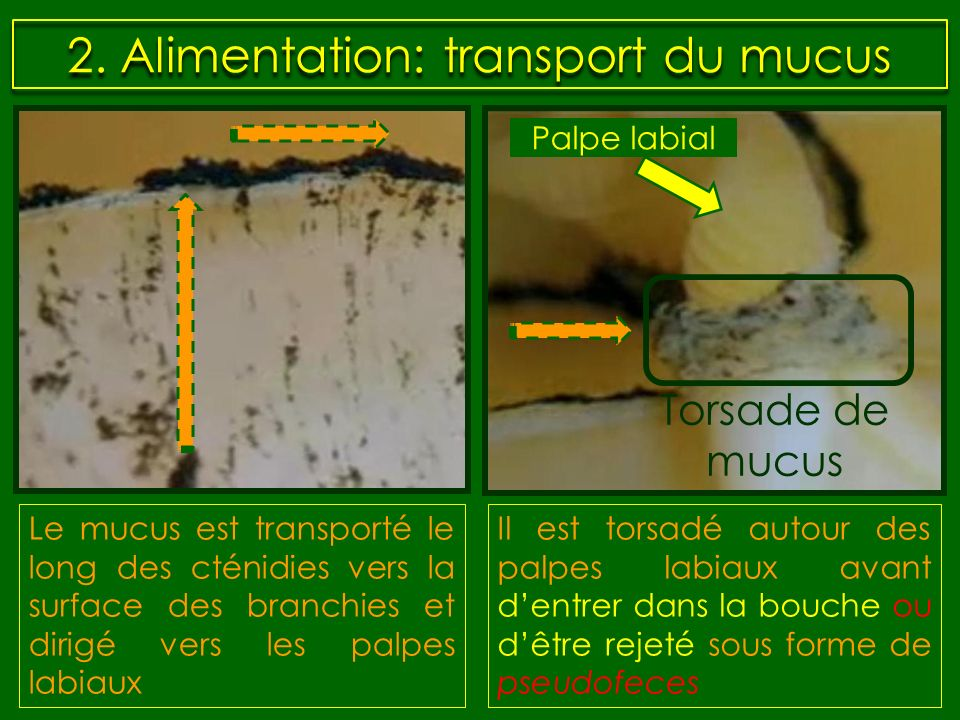 2. Alimentation: transport du mucus