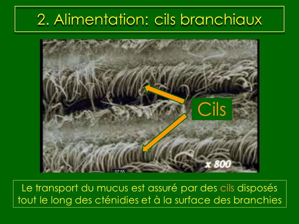 2. Alimentation: cils branchiaux