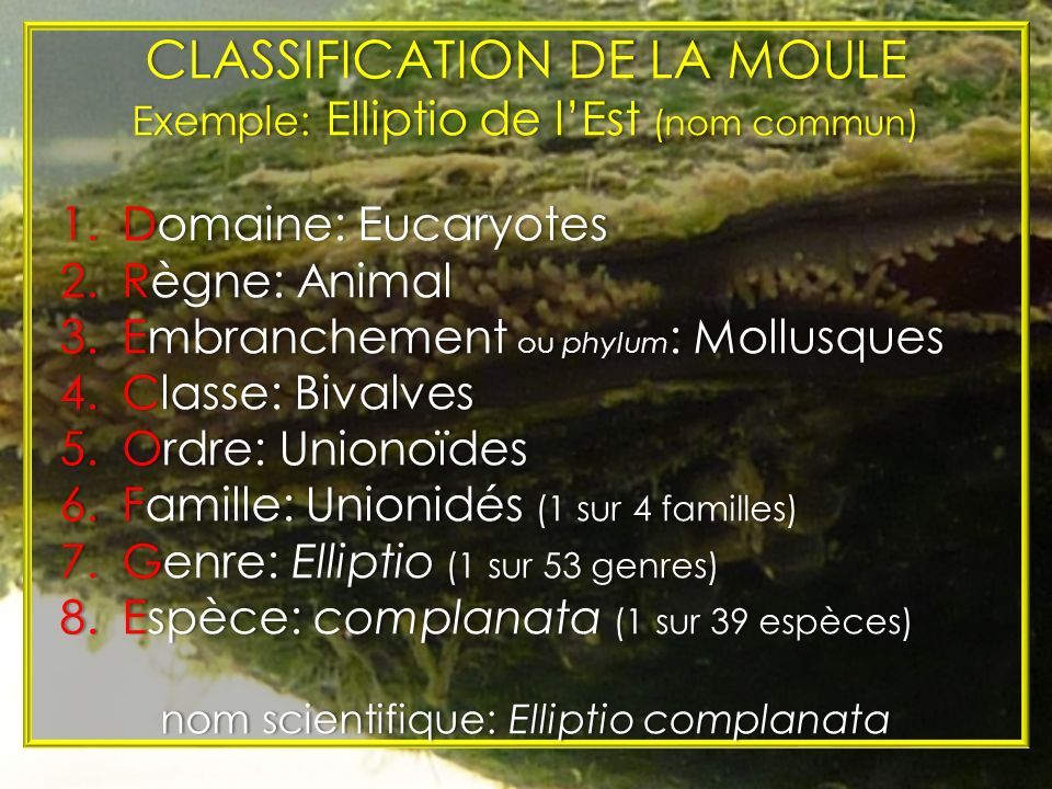 CLASSIFICATION DE LA MOULE