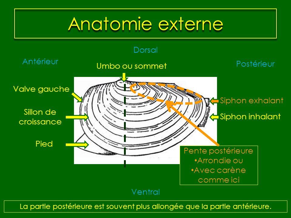 Anatomie externe Dorsal Antérieur Postérieur Umbo ou sommet