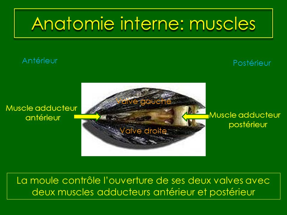 Anatomie interne: muscles