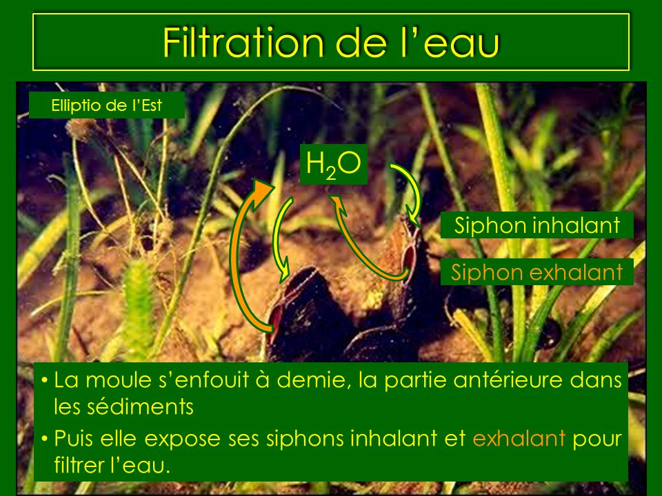 Filtration de l'eau H2O Siphon inhalant Siphon exhalant