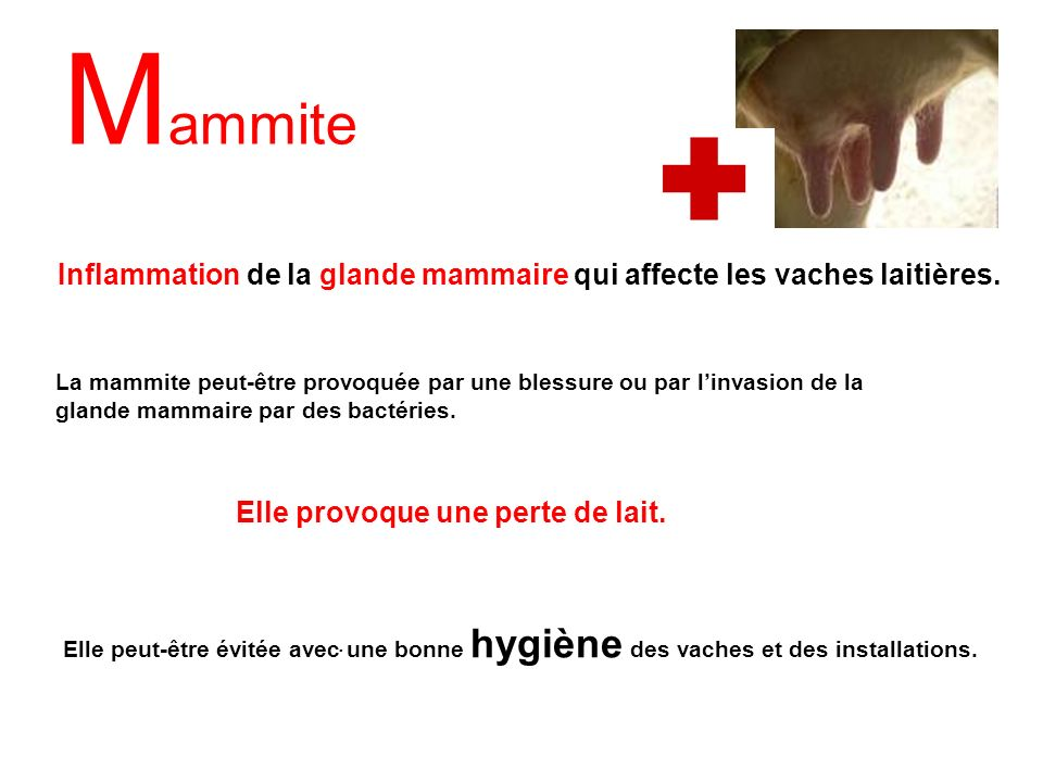 Mammite Inflammation de la glande mammaire qui affecte les vaches laitières.