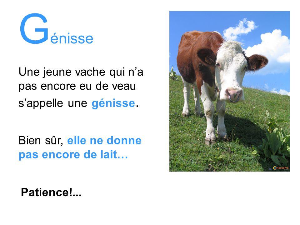 Génisse Une jeune vache qui n'a pas encore eu de veau s'appelle une génisse. Bien sûr, elle ne donne pas encore de lait…