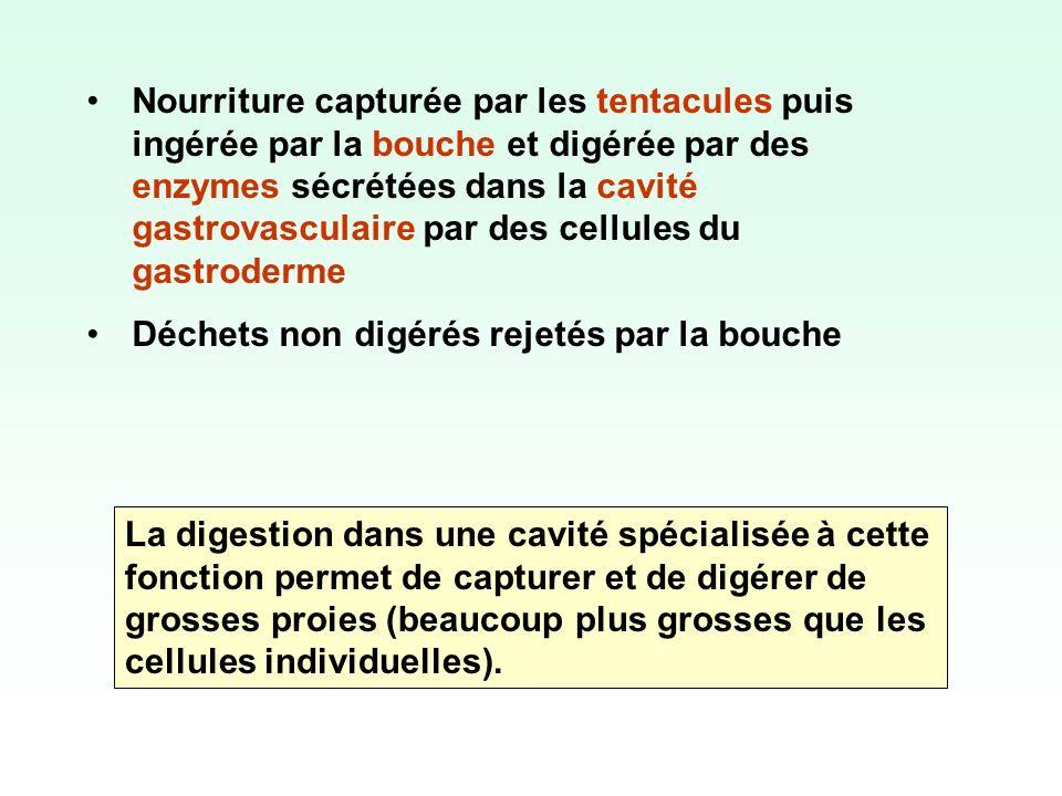 Nourriture capturée par les tentacules puis ingérée par la bouche et digérée par des enzymes sécrétées dans la cavité gastrovasculaire par des cellules du gastroderme