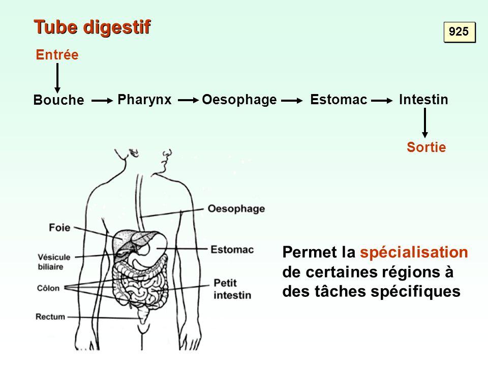 Tube digestif 925. Entrée. Bouche. Pharynx. Oesophage. Estomac. Intestin. Sortie.