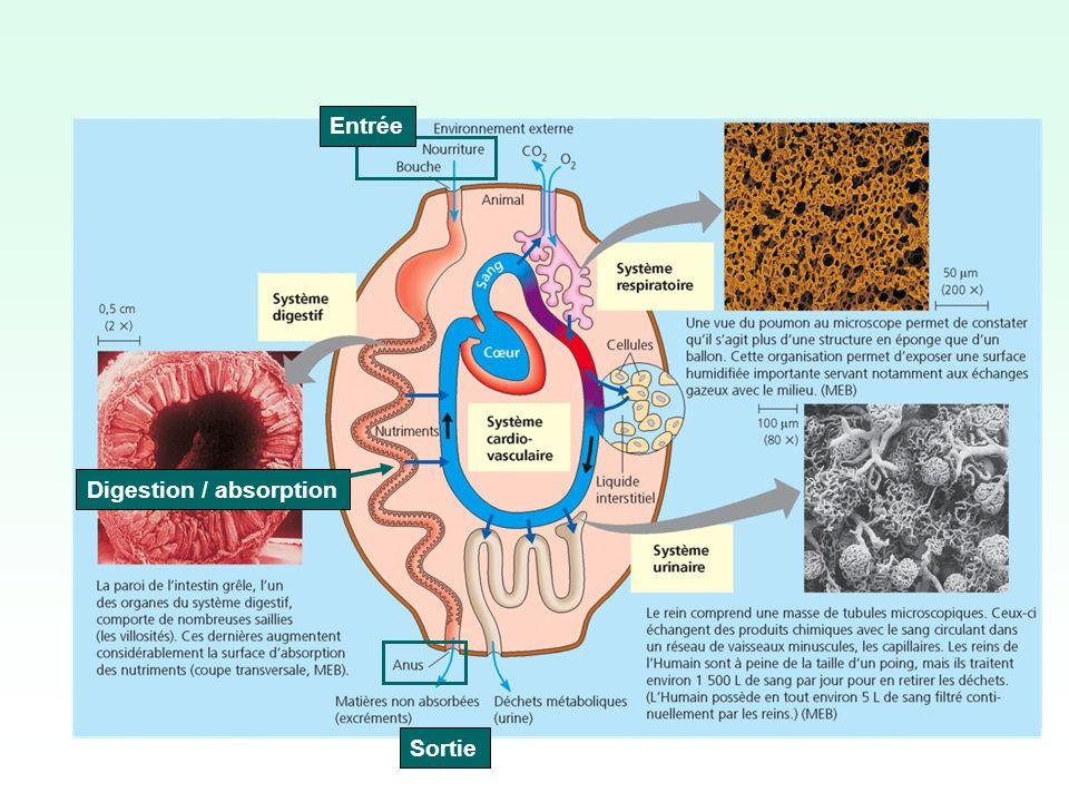 Entrée Digestion / absorption Sortie