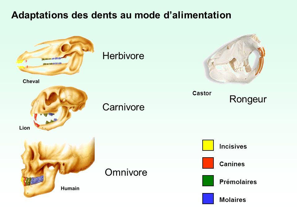 Adaptations des dents au mode d'alimentation