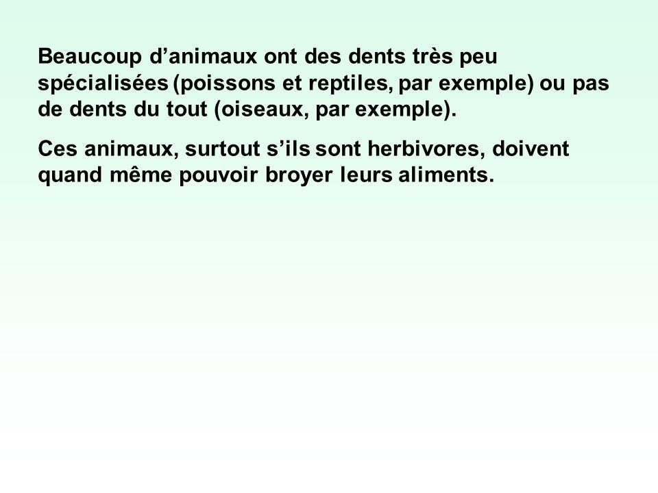 Beaucoup d'animaux ont des dents très peu spécialisées (poissons et reptiles, par exemple) ou pas de dents du tout (oiseaux, par exemple).