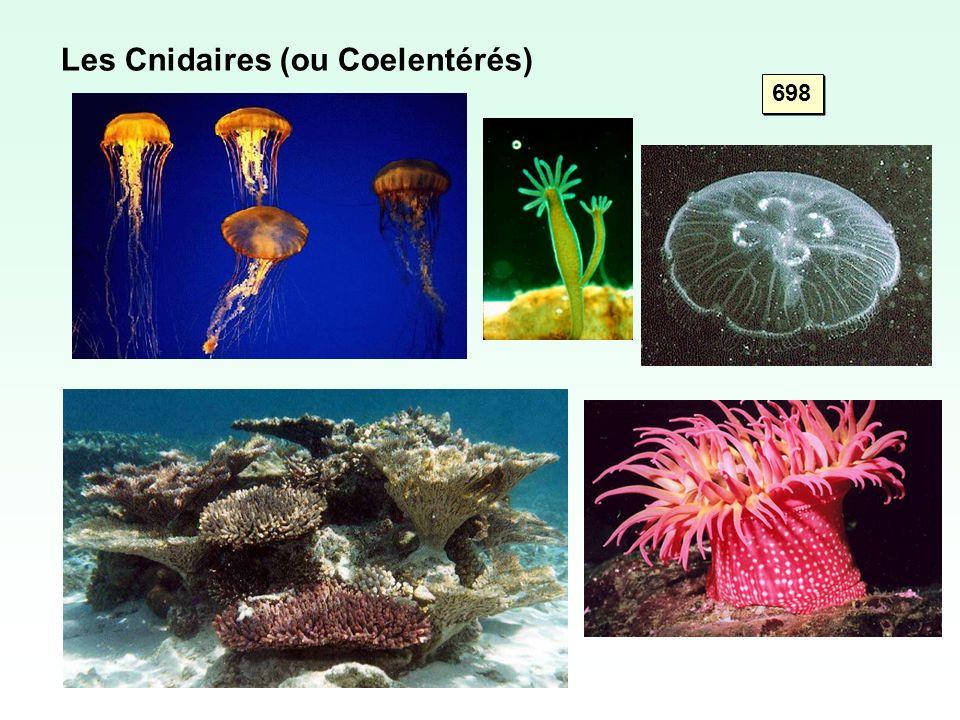 Les Cnidaires (ou Coelentérés)