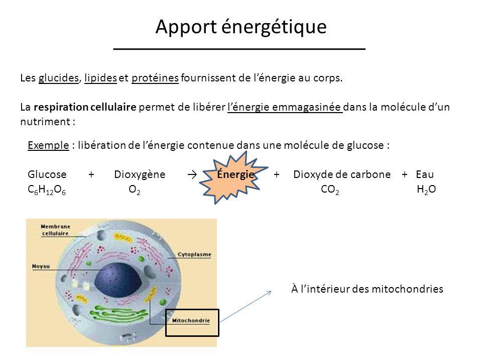 Apport énergétique Les glucides, lipides et protéines fournissent de l'énergie au corps.