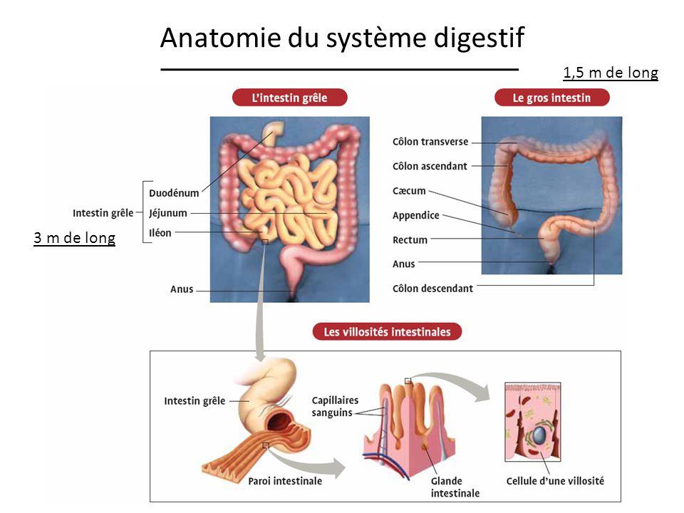 Anatomie du système digestif
