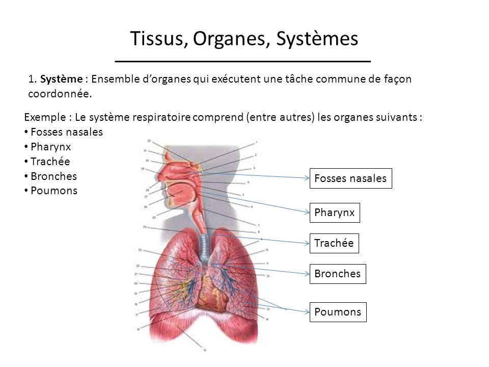Tissus, Organes, Systèmes